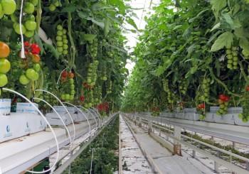 گوجه فرنگی گلخانه ای