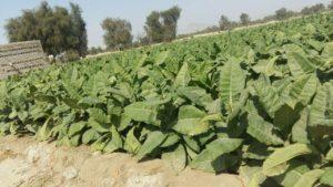 مزرعه تنباکو ایران