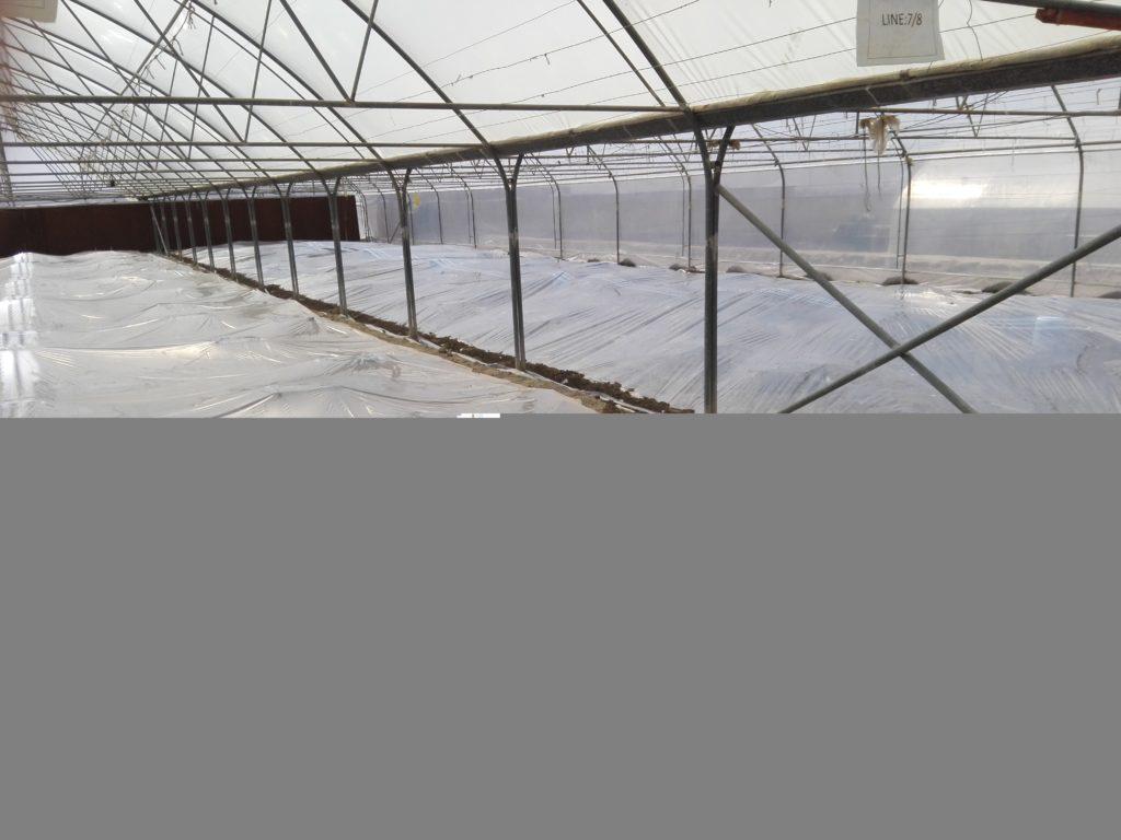 پلاستیک کشی برای ضدعفونی خاک گلخانه بامتیل بروماید